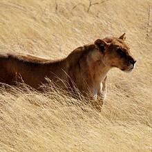 雄壮、身姿矫健的母狮高清