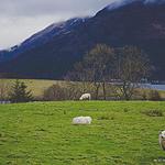 草原养殖的可爱的小绵羊