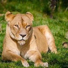 唯美趴在草地上晒太阳的狮子高清图片大全