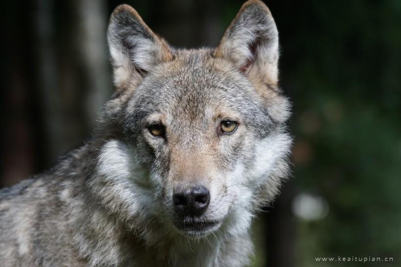 目光凶狠的野狼唯美图片大全