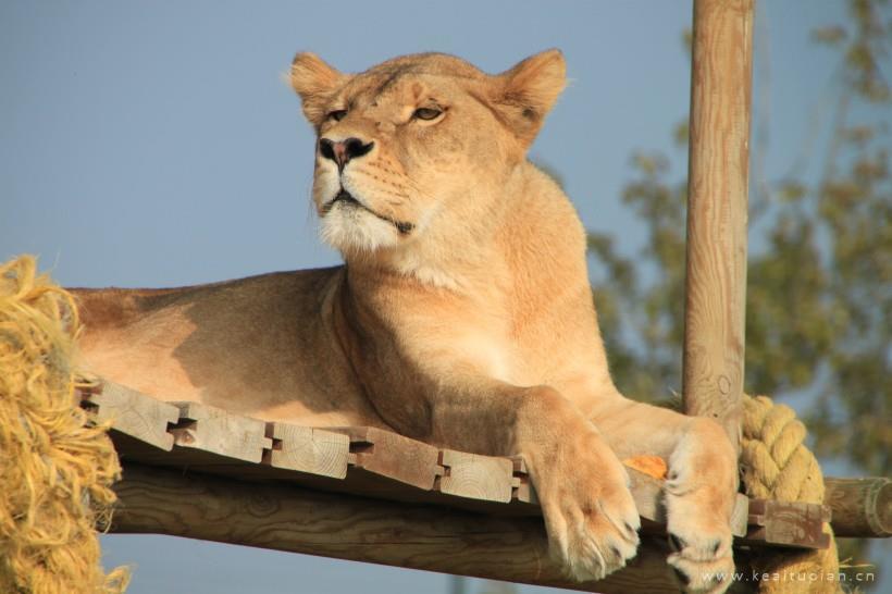 动物园的慵懒母狮子高清图片大全