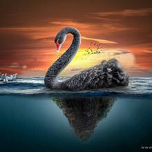 黑天鹅图片-优雅漂亮的黑天