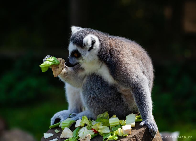 动物园的环尾狐猴高清图片