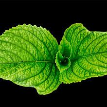 绿色薄荷叶清新凉爽图片