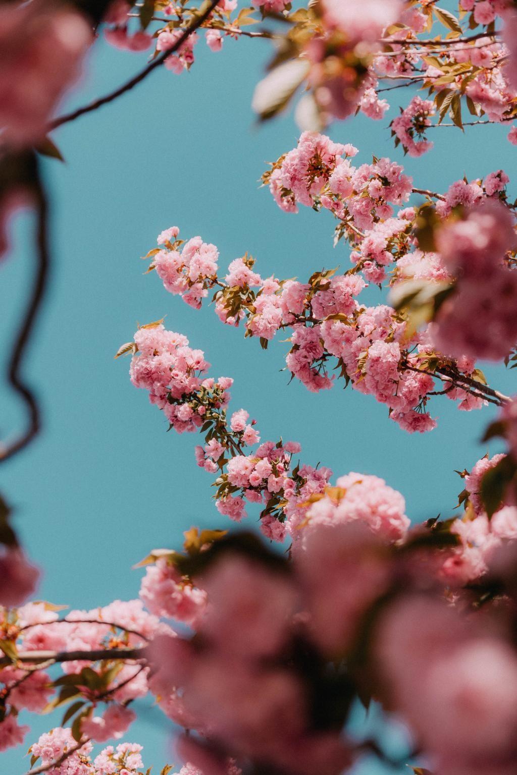 盛开的粉色关山樱花间的蓝色天空唯美高清图片