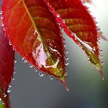 清晨叶子上摇摇欲坠的晶莹透亮的露珠高清图片