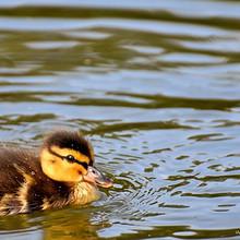 毛茸茸的可爱小鸭子图片-浮水的小鸭子图片大全