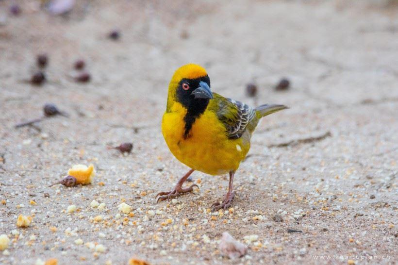 小巧可爱的黄色织巢鸟觅食筑巢图片大全