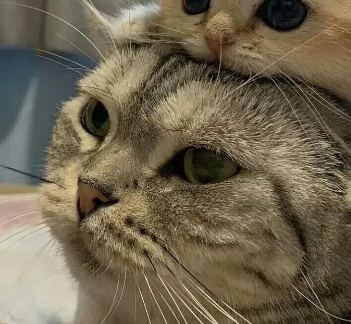 黏黏糊糊的两只猫咪可爱头像图片