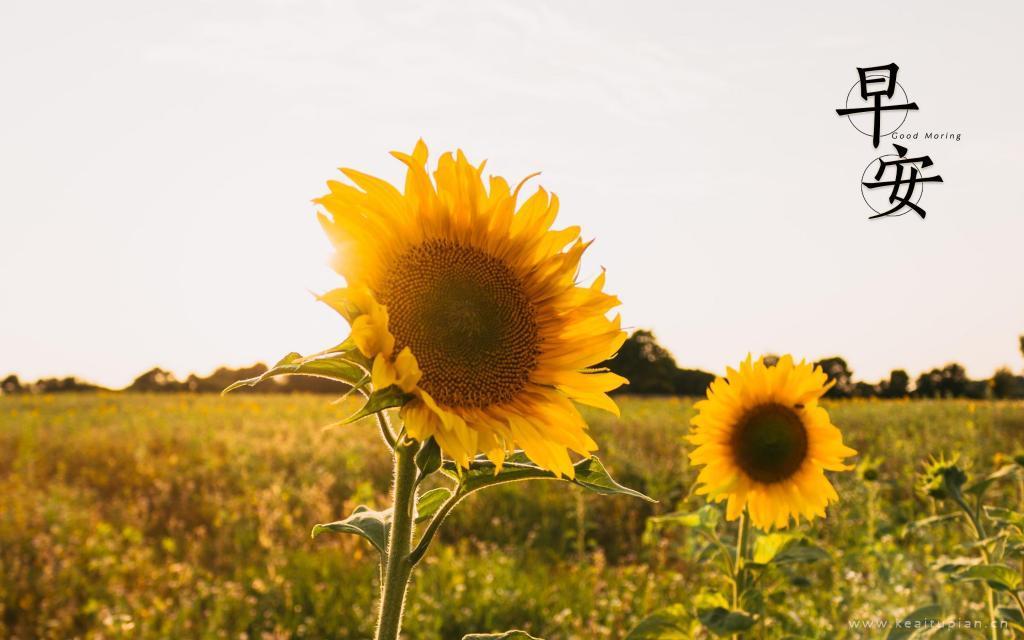 早安文字配图-清晨的向日葵图片