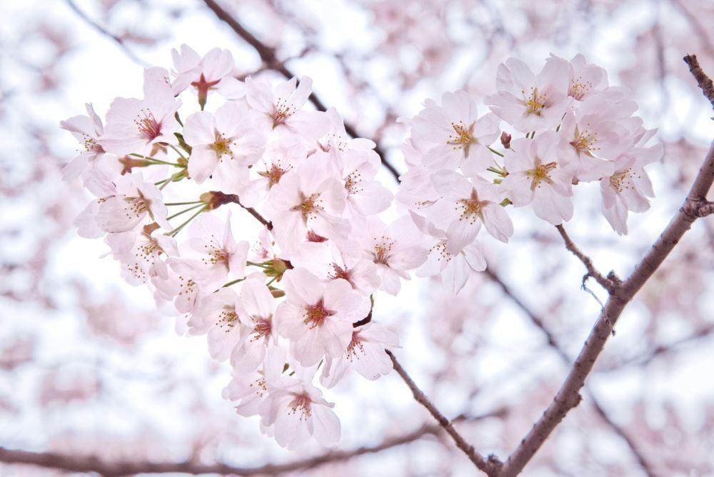 武汉大学樱花风景唯美高清壁纸图片大全