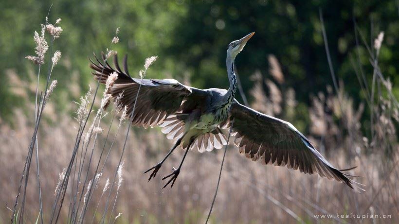 展翅高飞的苍鹭图片-灰色羽毛的苍鹭高清图片大全
