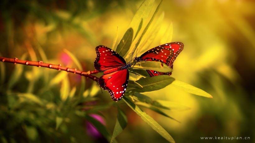 漂亮的优雅的红色蝴蝶图片大全