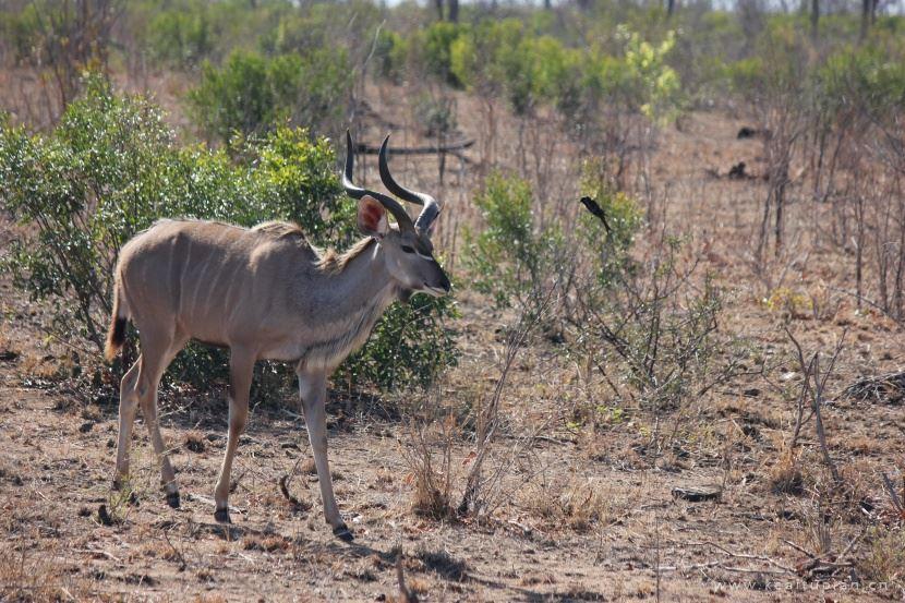 漂亮的敏捷活泼的扭角林羚图片大全