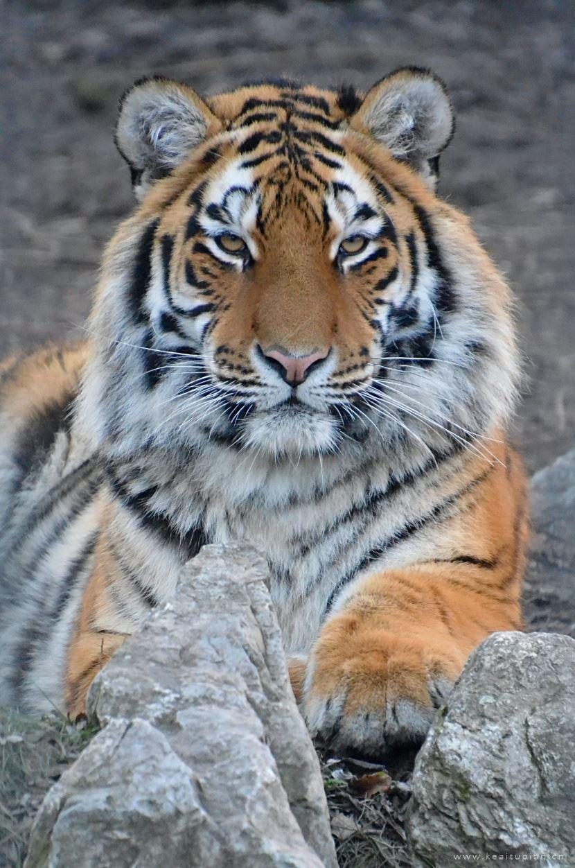 威风凛凛的山中之王老虎图片大全