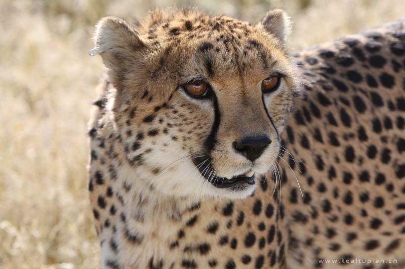 野生的猎豹高清图片大全