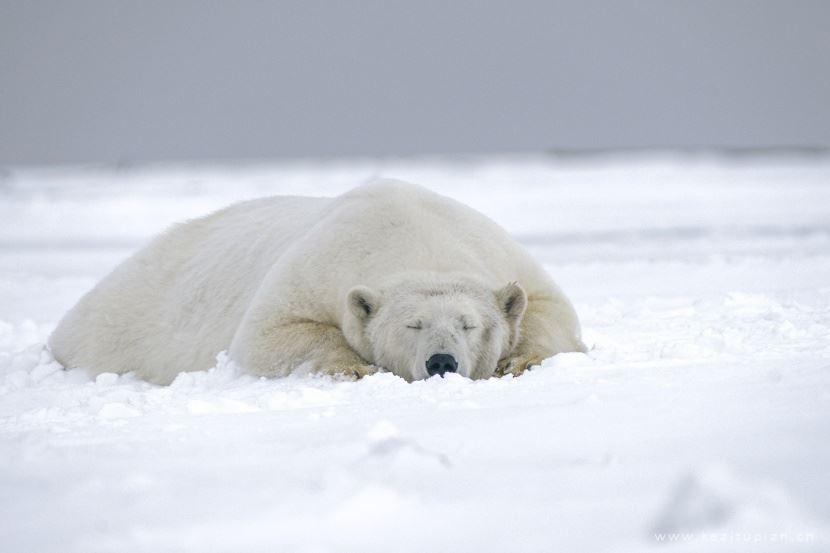 雪地里玩耍生活的北极熊图片大全