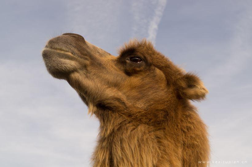 高清骆驼头部特写图片大全