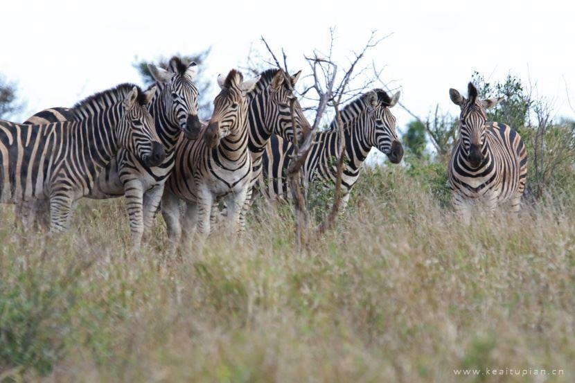 野生的斑马群高清图片大全