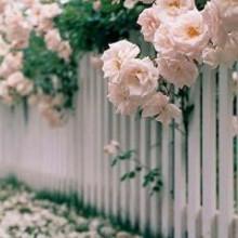 满栅栏美丽的玫瑰图片