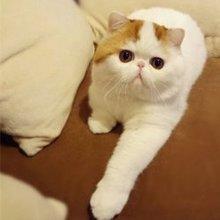 加菲猫红小胖可爱小猫咪萌
