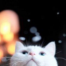 可爱小白猫唯美高清手机壁