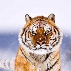雪地中的老虎高清壁纸图片下载