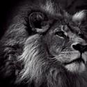 霸气动物狮子主题