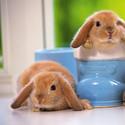 超萌可爱的茶杯兔