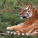 温顺的老虎桌面壁纸图片