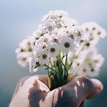 清新高雅的白色花朵高清手
