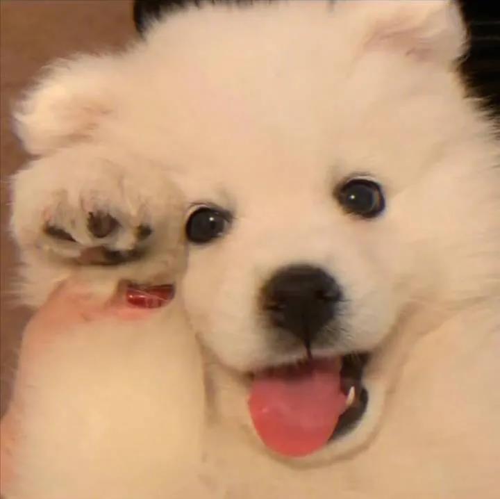 软萌可爱的白色小狗头像图片