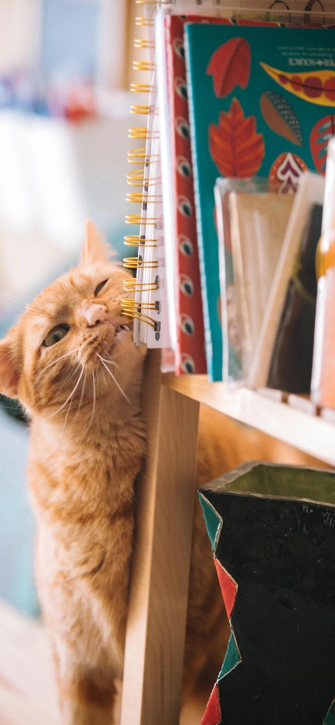 活泼可爱的猫咪高清动物手机壁纸图片