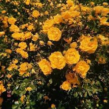 看着就开心的黄色花朵唯美头像图片